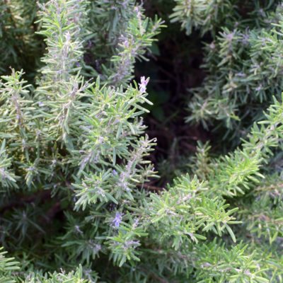 lyrarakis-rosemary bush